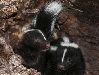 My new boundary gurus: 4 baby skunks